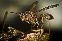 Small brown wasp macro closeup Stock Photography