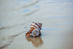 Small, brown and White clam shells lying in the sand near the shore of the ocean or sea. Royalty Free Stock Image