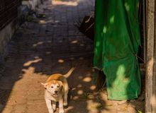 Small brown and white puppy on brick walkway. Looking up at camera Stock Photography
