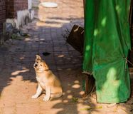 Small brown and white puppy on brick walkway. Next to a green tarp with its head tiled to one side Stock Image