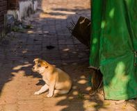 Small brown and white puppy on brick walkway. Small brown and white puppy sitting on brick walkway next to green tarp looking at camera Stock Photography