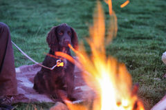 A small brown working type cocker spaniel sat in front of a fire Stock Photos