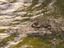 Small Brown Yacare caiman head royalty free stock photo