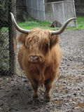 Small brown yak. Small brown animal domestic yak is standing, outdoor closeup portrait Stock Photography