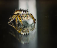 Small Brown and Yellow Jumping Spider Macro Royalty Free Stock Photography