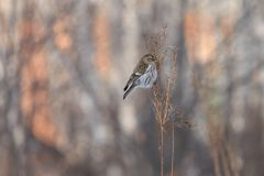Common redpoll Acanthis flammea perching on dry orach stem royalty free stock photos