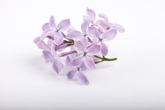 Small brunch of lilac flowers on white background Royalty Free Stock Photo