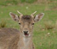 Small buck antelope.