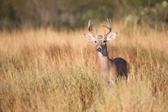 Small buck looking ahead Stock Photography
