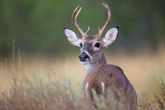Small buck looking behind him Royalty Free Stock Image