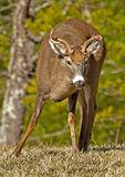 A small buck White Tailed Deer at Cades Cove. A small White Tailed Deer Buck faces the camera Royalty Free Stock Image