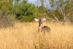 Small buck in yellow prairie grass Royalty Free Stock Image