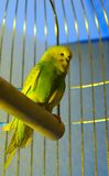 Small budgerigar. In golden cage Royalty Free Stock Images