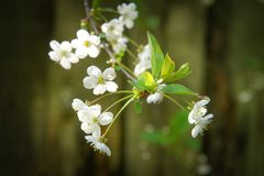Small buds of cherry blossom in a spring day. Small buds of cherry blossom in a spring day stock images