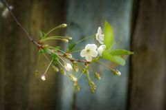 Small buds of cherry blossom in a spring day. Small buds of cherry blossom in a spring day stock photo