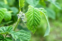 Small buds of raspberry flowers on a branch. Selective focus stock images