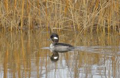 The Smiling Bufflehead Duck stock photo