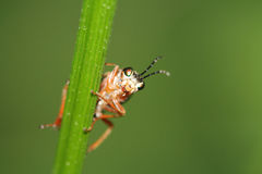 Small bug. A small bug starring curiously Stock Photography