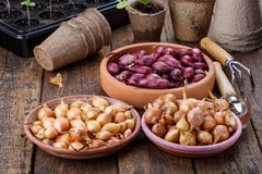 Small bulbs of red and yellow onion sets ready to planting royalty free stock photo