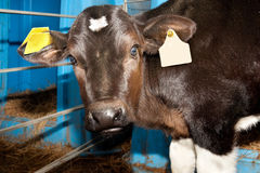 Small bull calf with surprised look royalty free stock photography