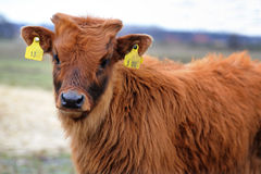 Small Bull With Identification Marks Stock Images