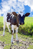 Small bull on meadow Stock Photography