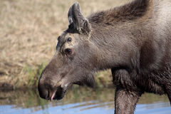 Small Bull Moose Royalty Free Stock Photo