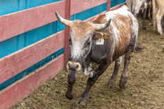 Small bull in pen. Royalty Free Stock Photo