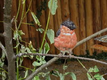 Small bullfinch Royalty Free Stock Images