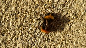 Small bumblebee on concrete wall. Bumblebee resting in warming sunshine on concrete wall in summer stock photos