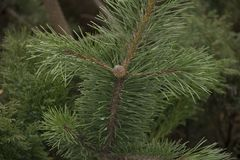 Small bump of evergreen young cedar on a branch royalty free stock images