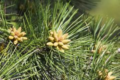 Small bumps on Pine Needles Stock Photos