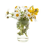 Small bunch of canarian marguerite daisy. Isolated on white background royalty free stock images