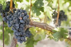 Close Up View of Wine Grapes on a Vine stock image