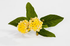 Small bunch of yellow lantanas on white background Royalty Free Stock Images