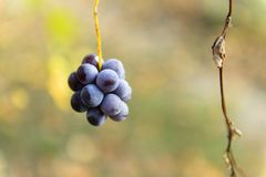 Small bunches of grapes on the vineyard in late autumn. Small bunches of grapes left in the vineyard after harvest in the late autumn, at the bottom the colorful Royalty Free Stock Photos