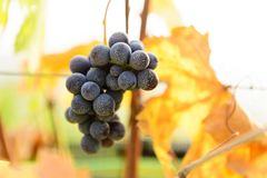Small bunches of grapes on the vineyard in late autumn. Small bunches of grapes left in the vineyard after harvest in the late autumn, at the bottom the colorful Royalty Free Stock Image