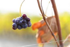 Small bunches of grapes on the vineyard in late autumn. Small bunches of grapes left in the vineyard after harvest in the late autumn, at the bottom the colorful Royalty Free Stock Photo