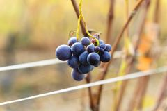 Small bunches of grapes on the vineyard in late autumn. Small bunches of grapes left in the vineyard after harvest in the late autumn, at the bottom the colorful Stock Image