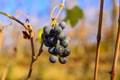 Small bunches of grapes on the vineyard in late autumn. Small bunches of grapes left in the vineyard after harvest in the late autumn, at the bottom the colorful Stock Photo