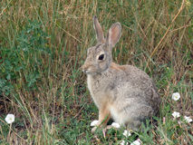 A small bunny in a meadow Stock Images