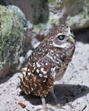 Small Burrowing Owl Royalty Free Stock Photography