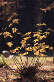 Small bush  in autumn park Royalty Free Stock Images
