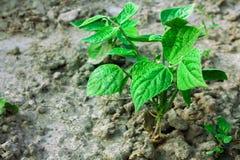 Small Bush beans Royalty Free Stock Photography