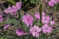 A small bush of blooming pink flowers growing in the weeds stock images