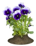 Small bush of dark-violet Pansies on a bed Stock Photography