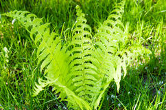 Small bush of fern Royalty Free Stock Photo