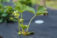 A small bush flowering strawberries on non-woven material. A small bush flowering strawberries on non-woven black material royalty free stock photo