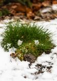 A small bush of green grass made its way from under the snow in the park of Old Prague royalty free stock photography