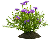Small Bush Of Violet Chrysanthemums On A Bed Stock Photography